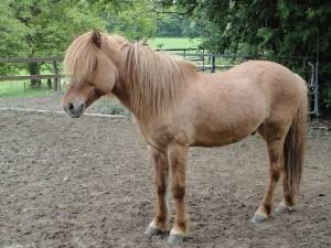 Pferd Glaisir